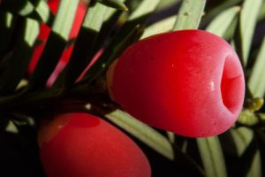 Taxus in bloei